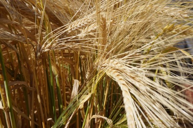 mecca_barley